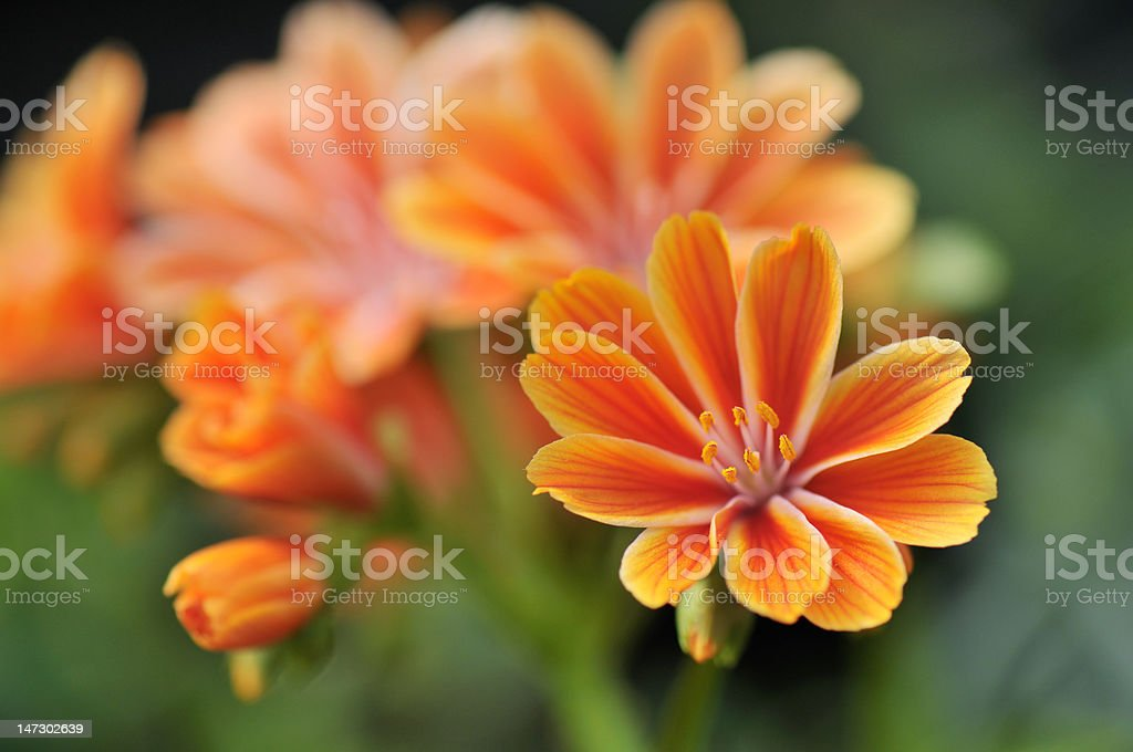 orange yellow lewisia cotyledon flowers stock photo