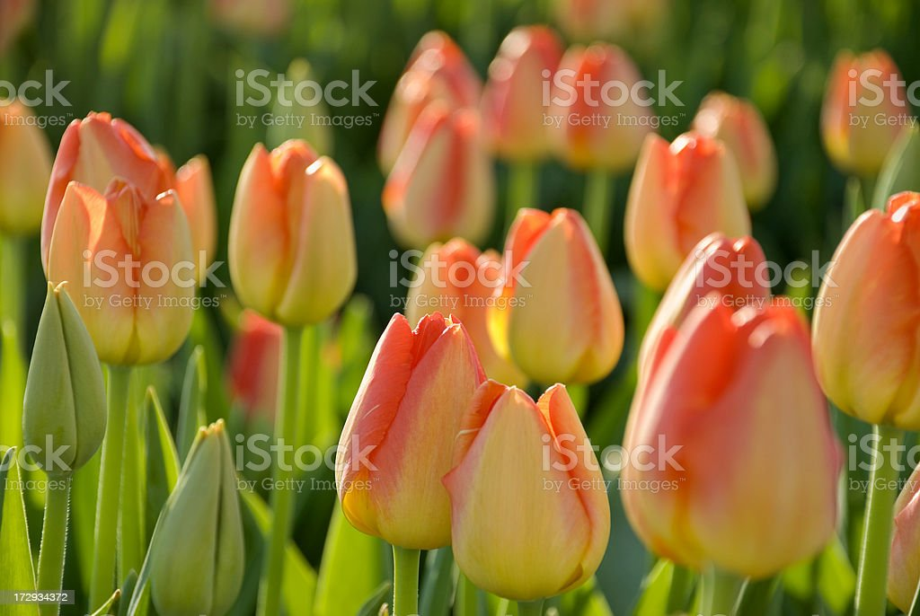 Orange Yellow Tulips royalty-free stock photo