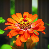 One fiery orange flower of Zinnia close-up in the garden on a sunny day. Selective focus, blurred vignette.
