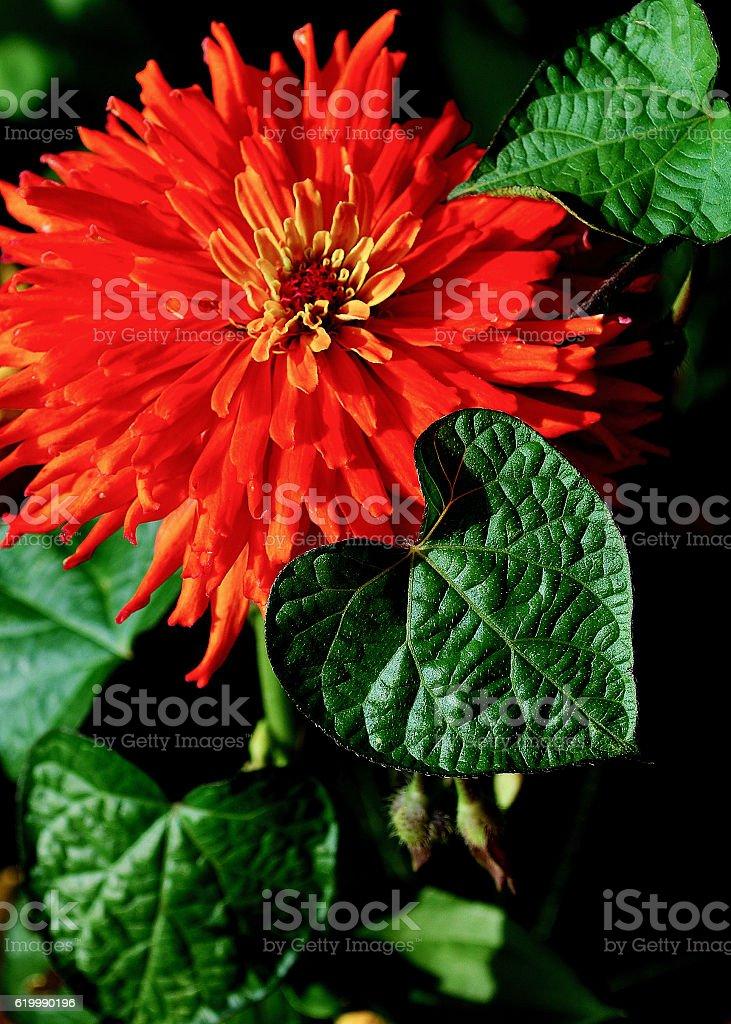 Orange Zinnia with Leaves stock photo