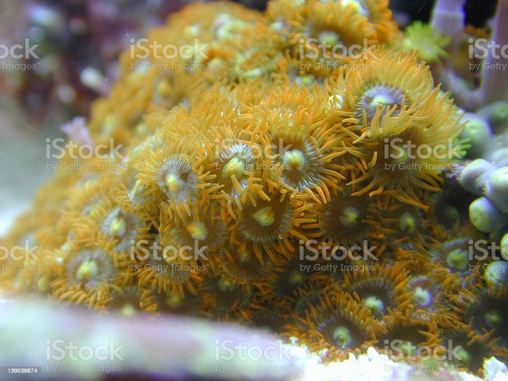 Orange Zooanthid Coral royalty-free stock photo