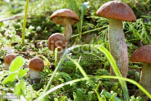 Mushrooms orange-cup bolete in moss