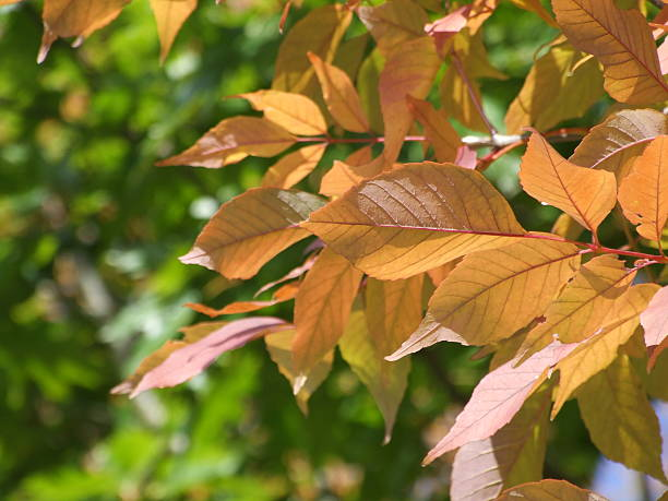 orange-colored autumn tree leaves in the early fall - belkindesign stock pictures, royalty-free photos & images