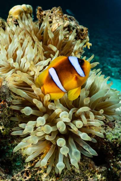 orangefin anemonefish fish in anemone stock photo