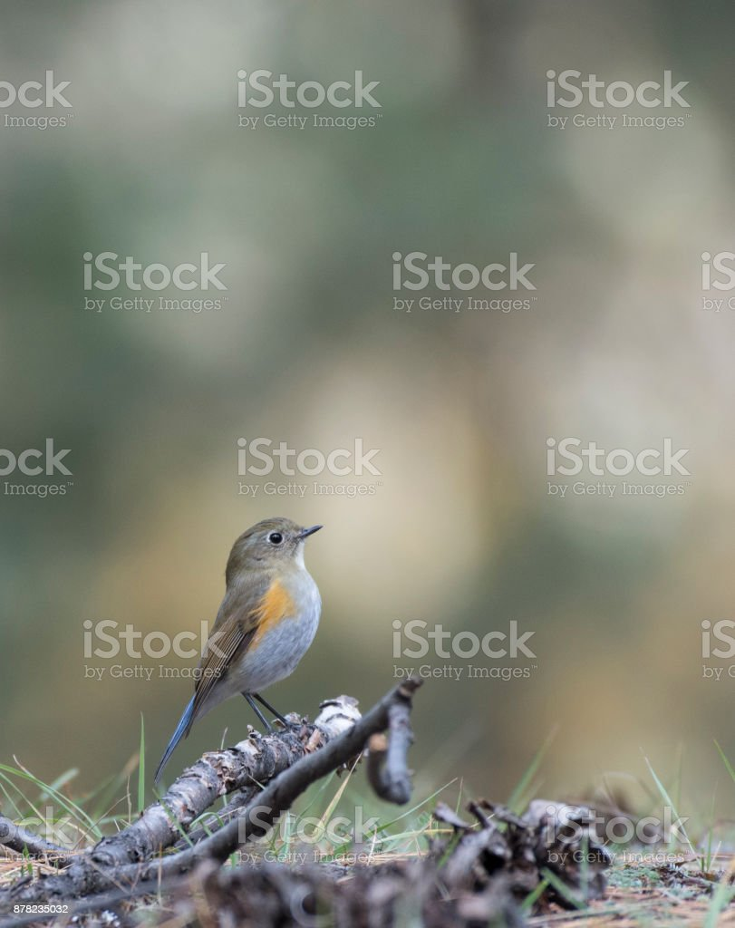 Orange-flanked Bush-robin (Tarsiger cyanurus) stock photo