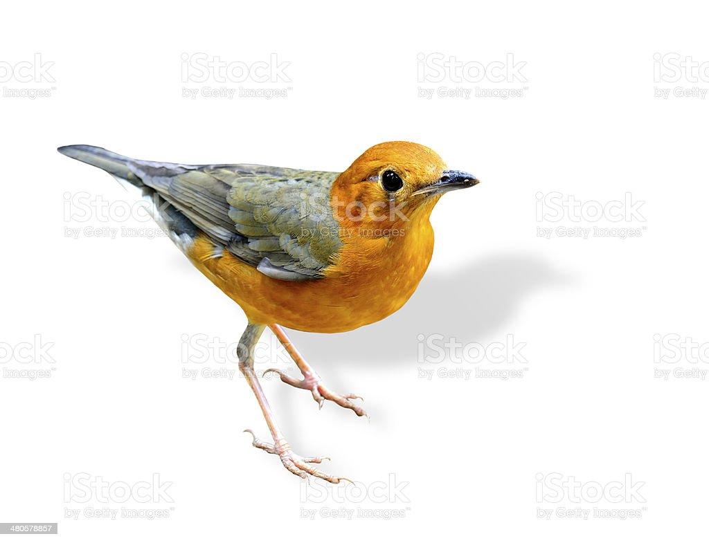 Orange Kopf Singdrossel Einem Wunderschönen Orange Und Grau Vogel ...