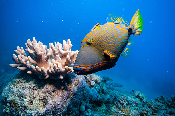 orange-lined triggerfish by coral in beautiful blue water - great barrier reef stock pictures, royalty-free photos & images