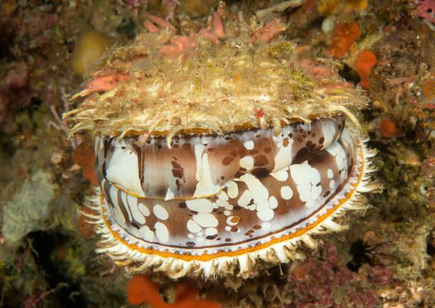 Orange-Mund dornige Auster auf Korallen von Bali – Foto