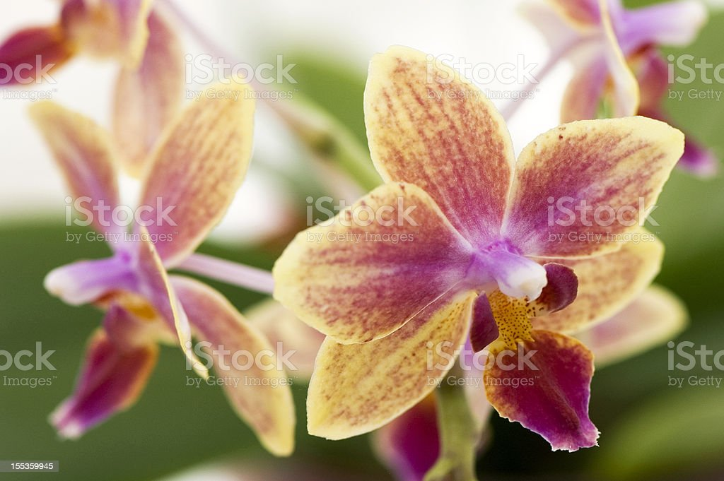 Orange-Pink Orchid royalty-free stock photo