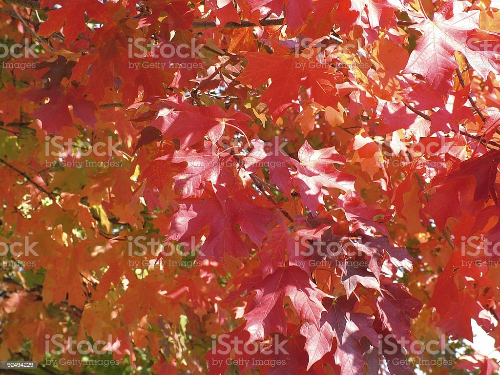 Orange/Red Leaf Detail royalty-free stock photo
