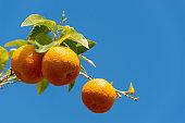 Oranges against a blue sky