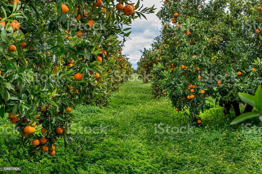 Oranges field stock photo