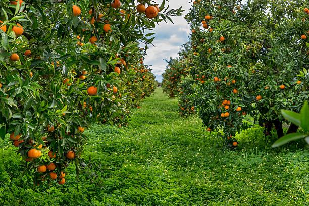 orange field - wäldchen stock-fotos und bilder