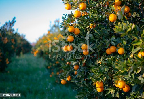 Oranges growing on tree orchard, Mugla, Turkey