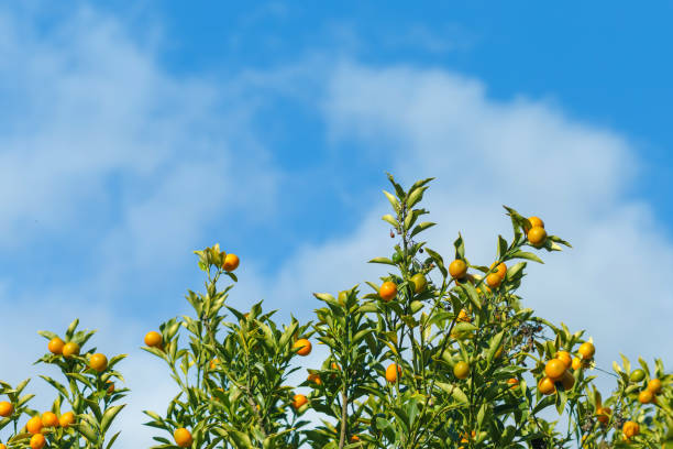 Oranges hanging tree with cloud and blue sky. stock photo