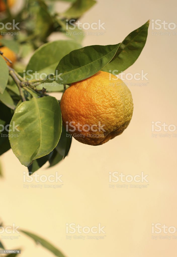Oranges on a branch against yellow wall royalty-free stock photo