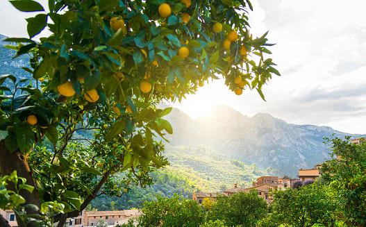 Oranges on a tree on a farm in Mallorca