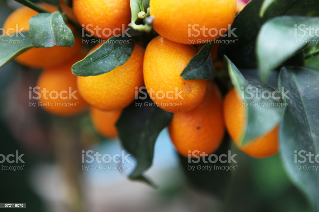 Oranges on a tree stock photo