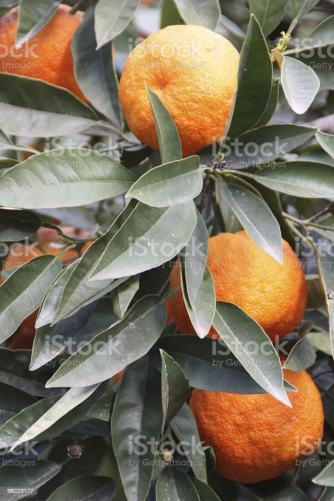 Oranges on a tree royalty-free stock photo
