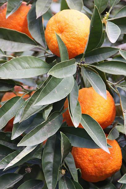 Orangen auf einem Baum – Foto