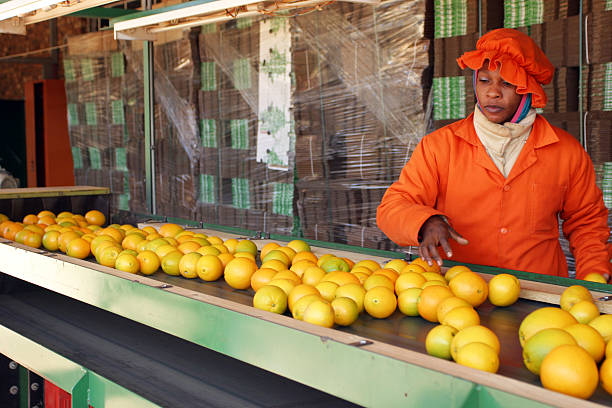 Oranges on Packing Line Oranges on a conveyer belt at a Fruit Packing Plant in South Africa. migrant worker stock pictures, royalty-free photos & images
