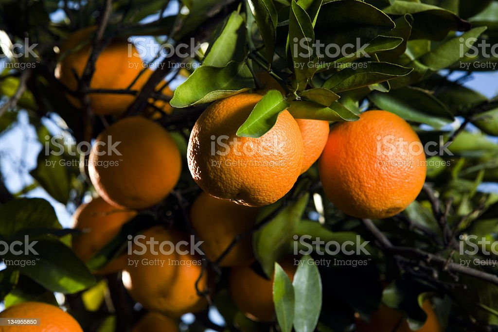 Oranges on the tree stock photo