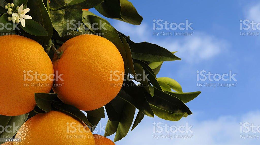 Oranges on Tree stock photo
