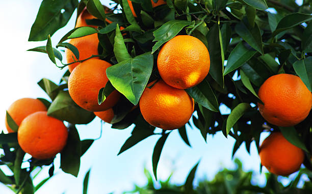 orangen am baum - wäldchen stock-fotos und bilder