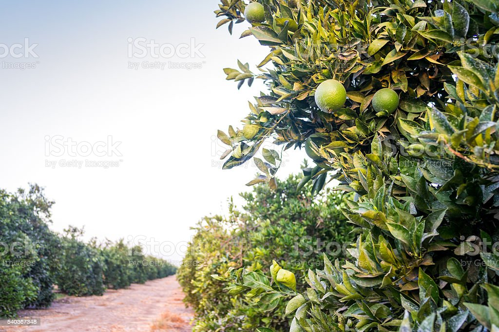 Oranges Plantation. Rows of trees with unripe fruits. stock photo