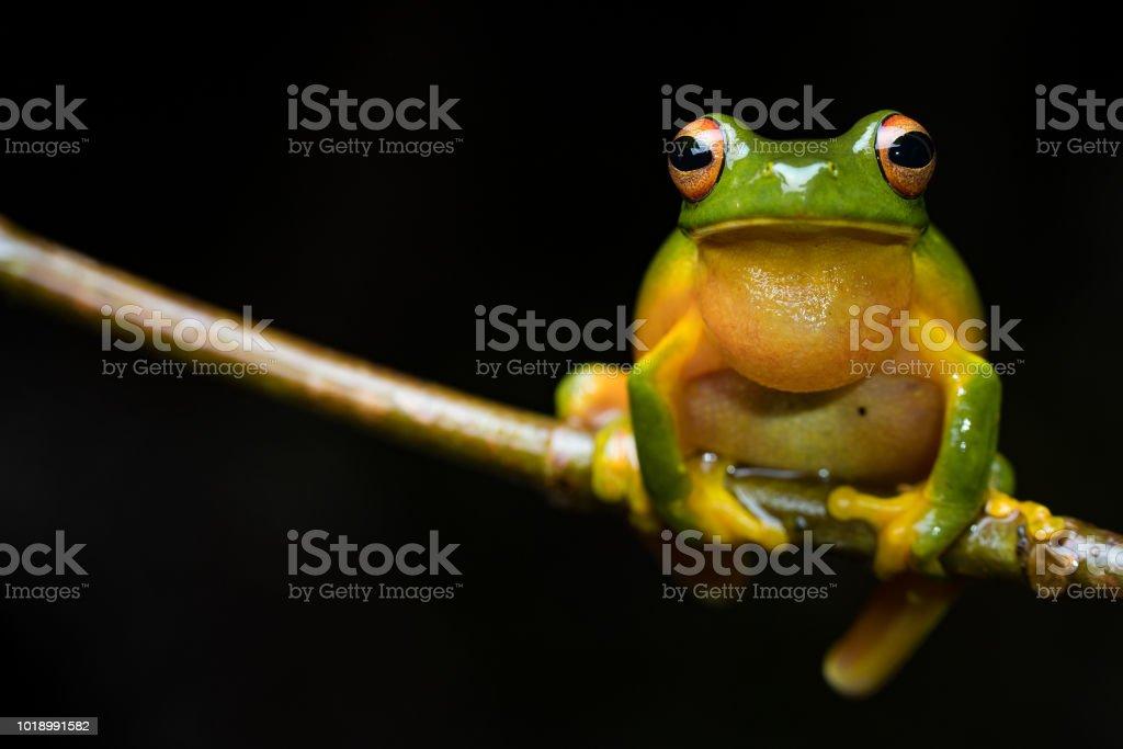 Orange-thighed Frog (Litoria xanthomera) stock photo