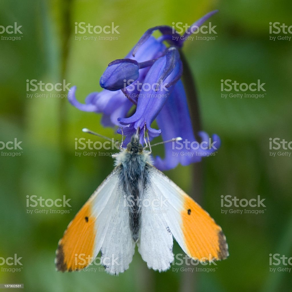 Orange-tip Butterfly stock photo