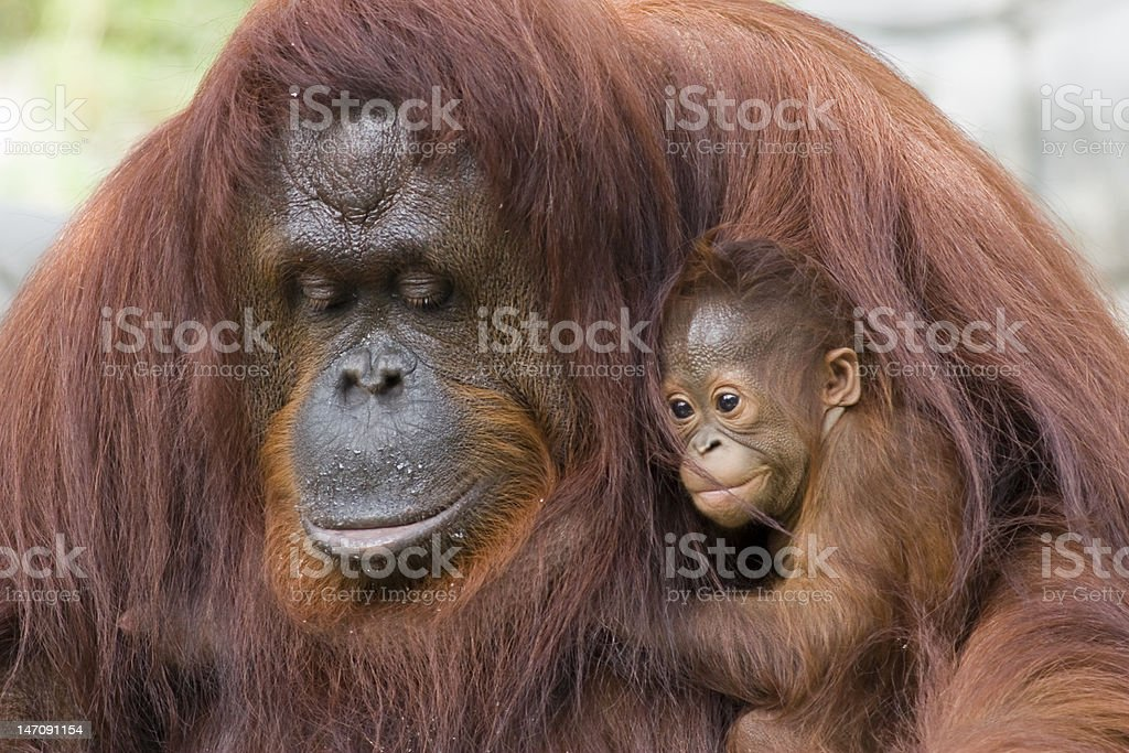 Orangutan and baby Orangutan (Dee Dee) and baby (Rango) from Tampa's Lowry Park Zoo Animal Stock Photo