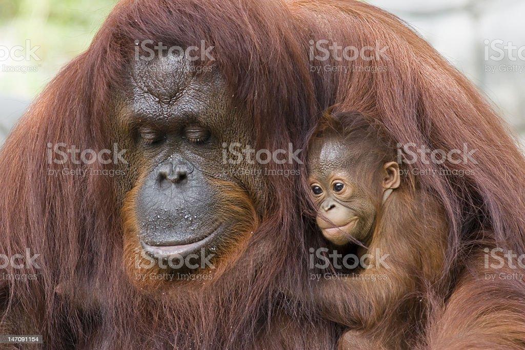 Orangutan and baby stock photo