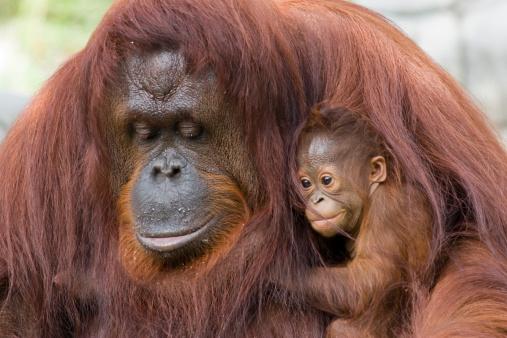 Orangutan And Baby Stock Photo - Download Image Now