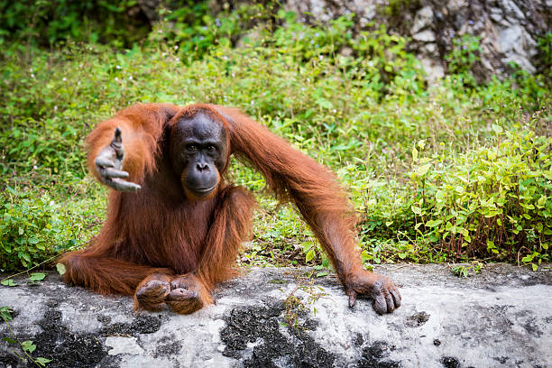 Orangutan Asian species of extant great apes Orangutan Asian species of extant great apes orangutan stock pictures, royalty-free photos & images