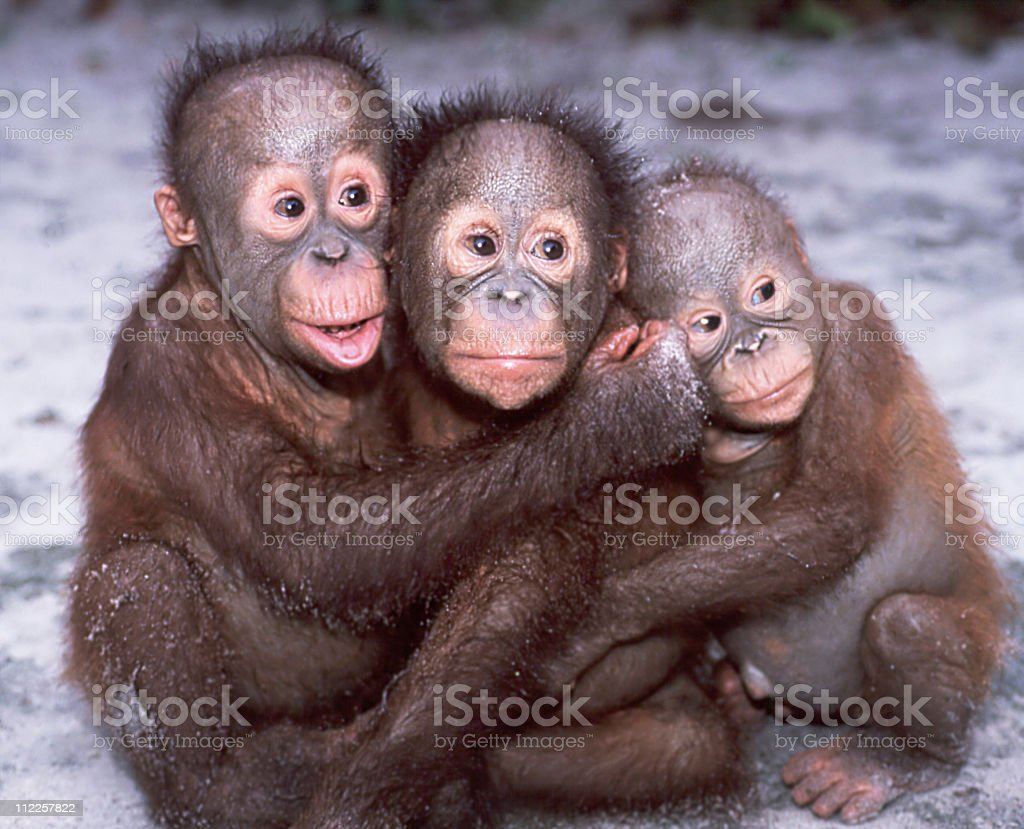 Orangutan babies stock photo