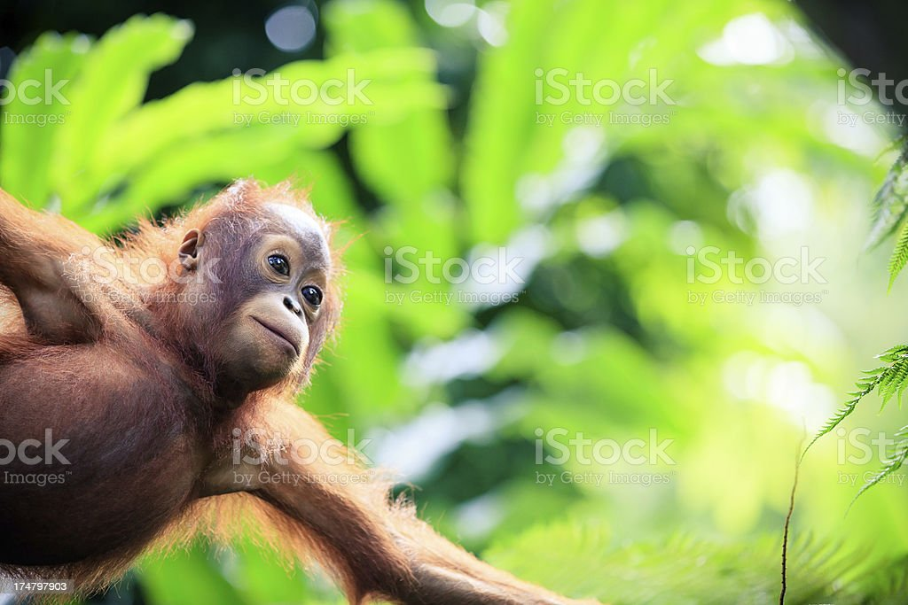 Orangutan baby stock photo