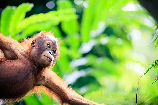 Orangutan baby Cute Orangutan baby orangutan stock pictures, royalty-free photos & images