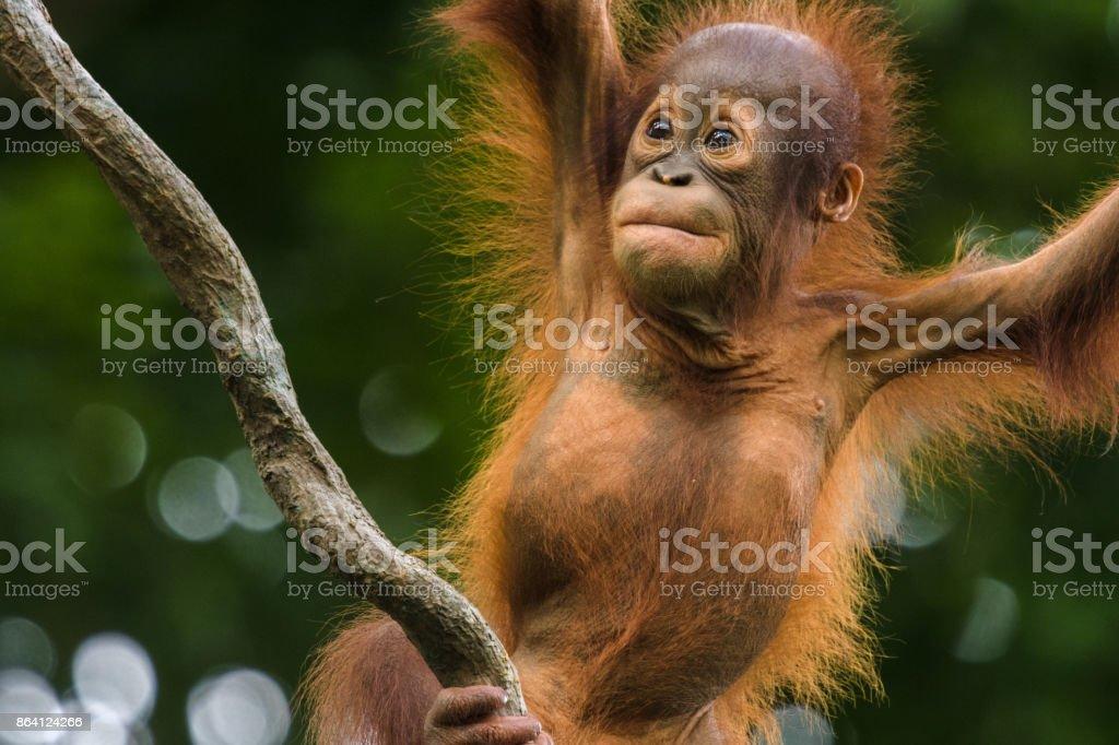 Orangutan Child Looking Up royalty-free stock photo