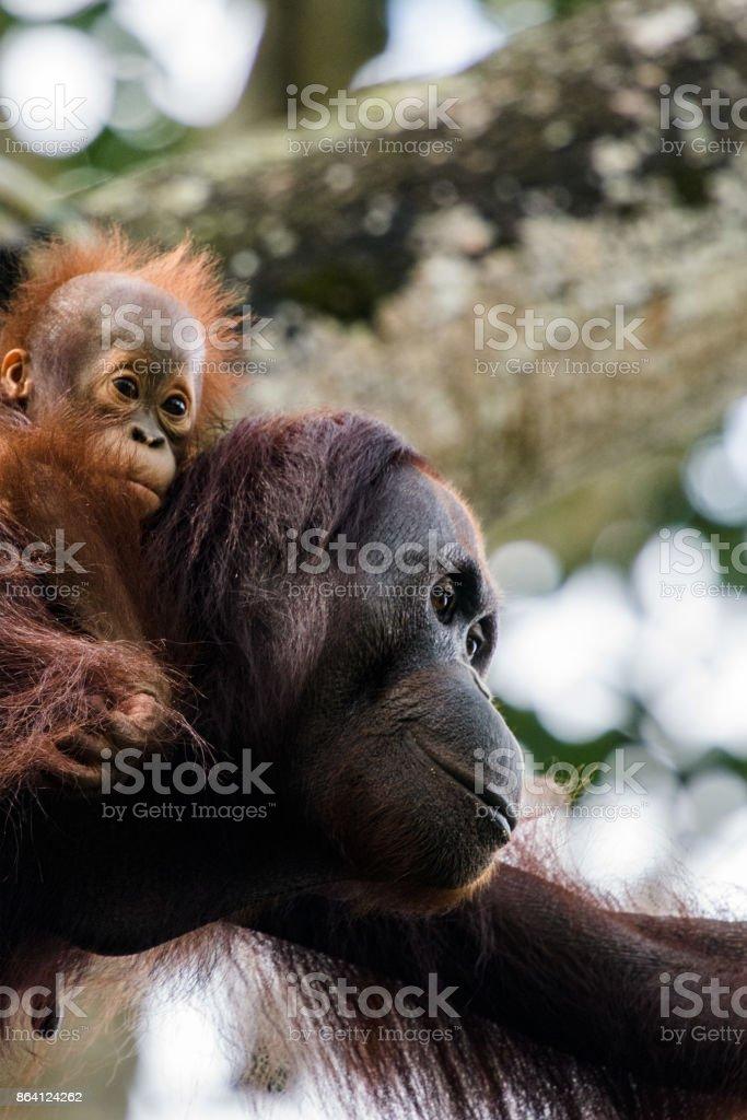 Orangutan Child Piggyback On Mummy royalty-free stock photo