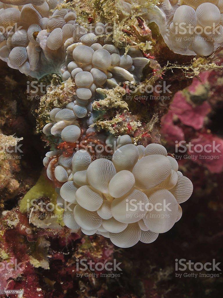 Orangutan crab (Achaeus japonicus) on bubble corals royalty-free stock photo