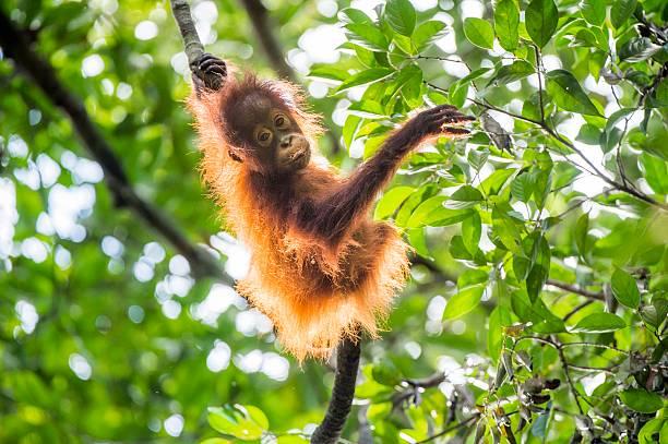 Orangutan cub on the tree. Baby orangutan (Pongo pygmaeus) on the tree. Natural green background. Borneo rainforest jungle, Indonesia. island of borneo stock pictures, royalty-free photos & images
