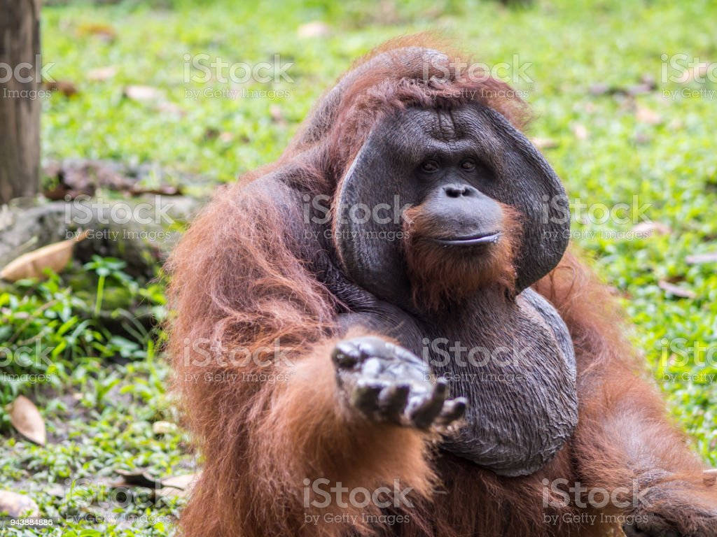 Orang-Utan demanding food at Bali Zoo stock photo
