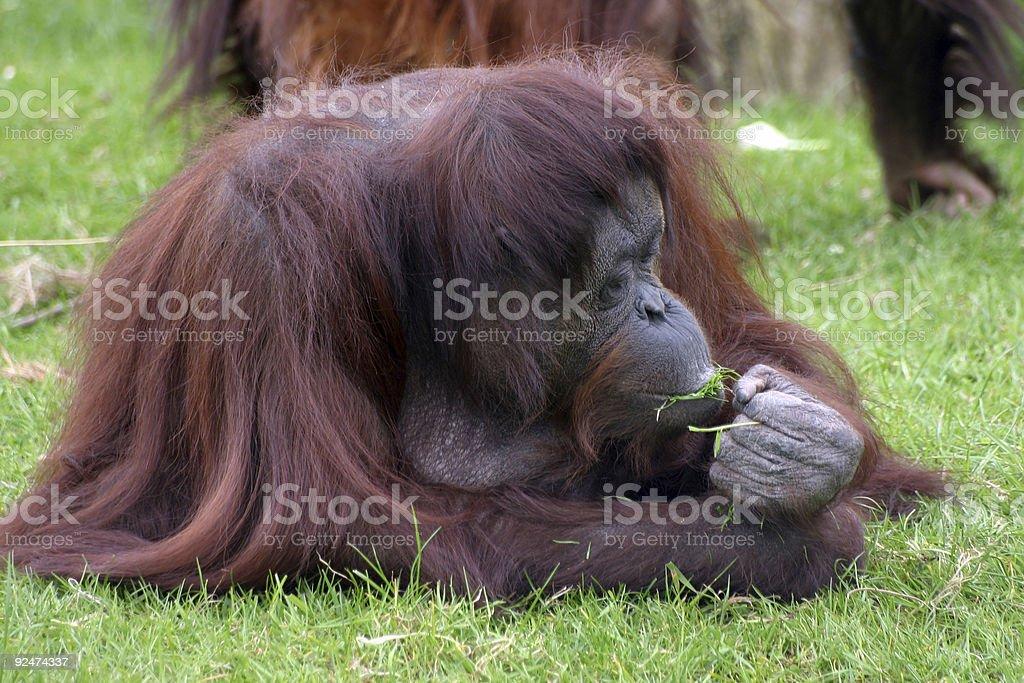 Orangutan eating royalty-free stock photo