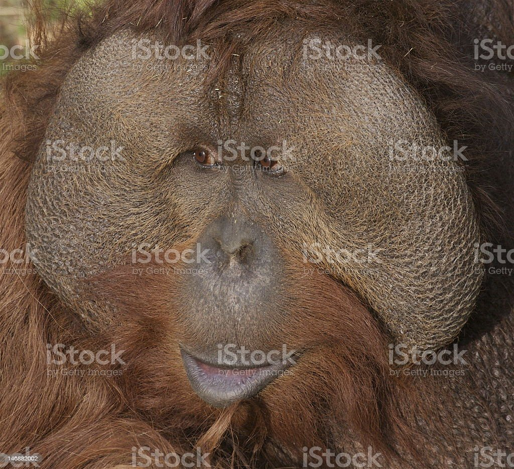 Orangutan Face-Towan royalty-free stock photo