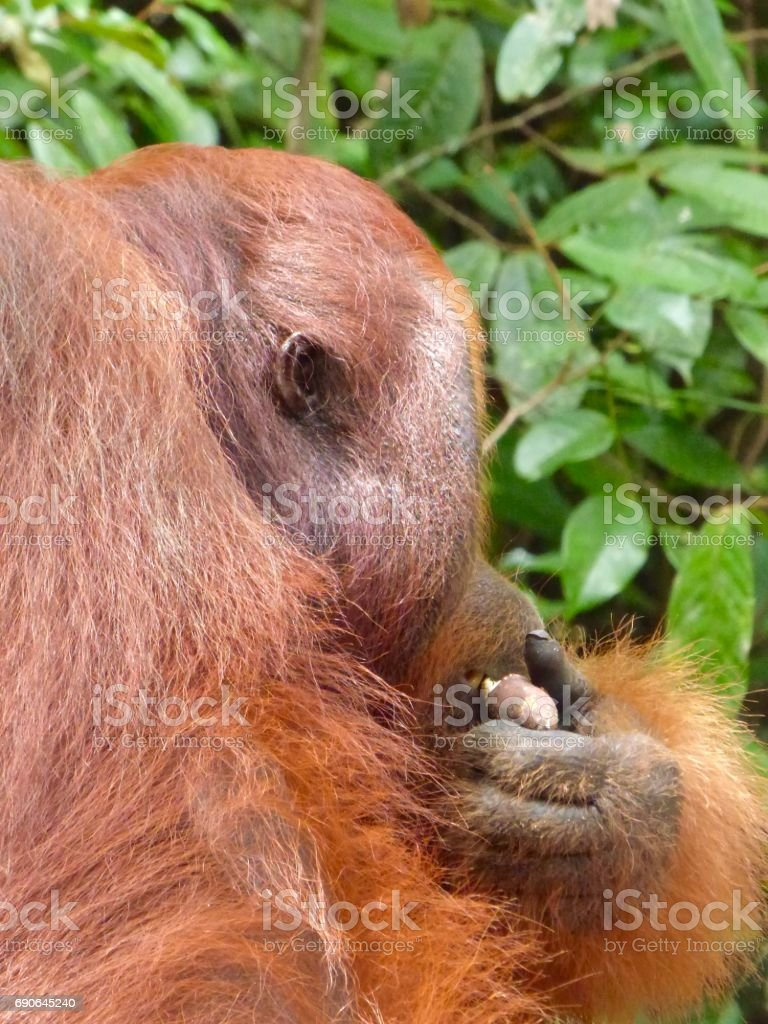 Orangutan from the Side stock photo