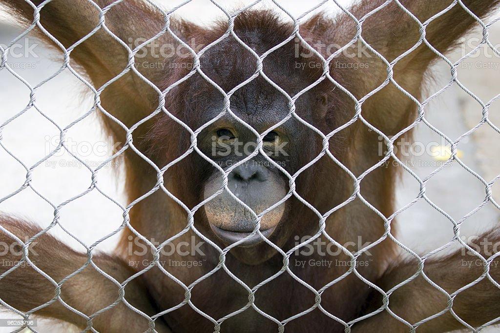 Orangotango em um zoológico - Foto de stock de Animal royalty-free