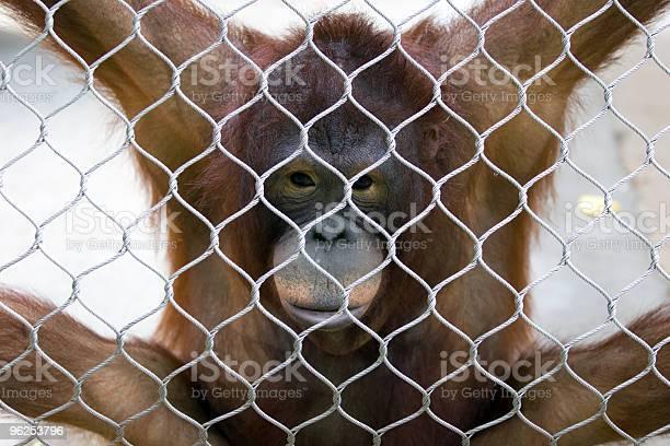 Foto de Orangotango Em Um Zoológico e mais fotos de stock de Animal