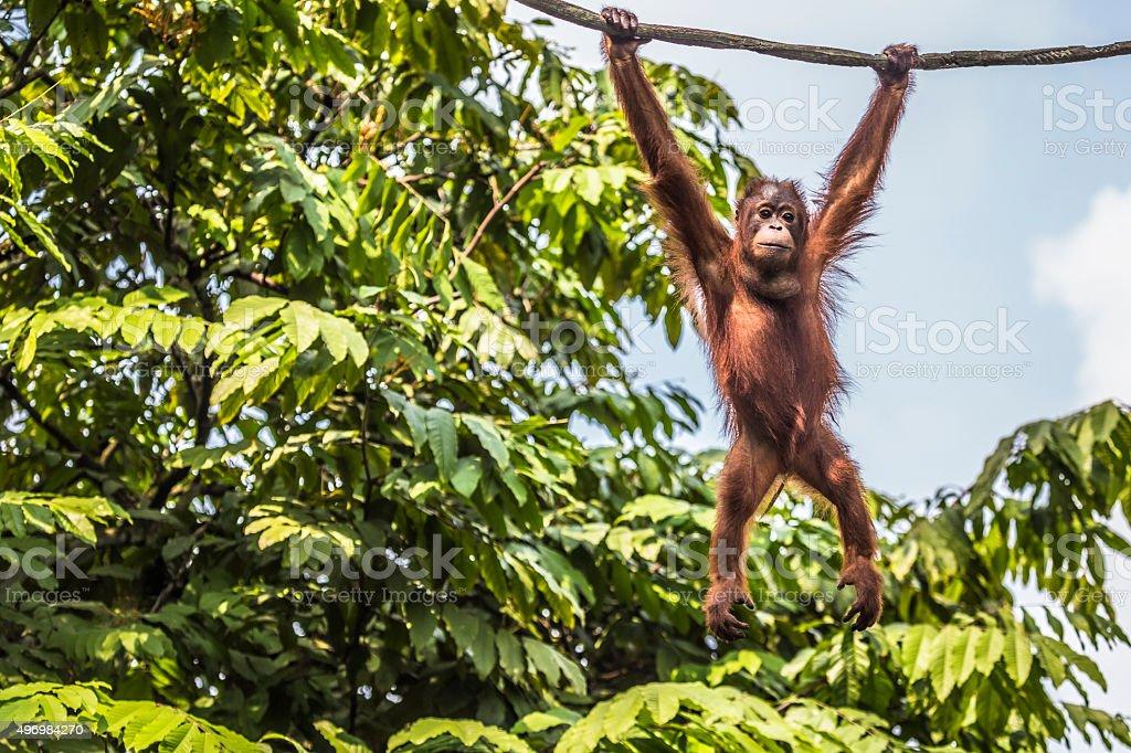 Orangutan in the jungle of Borneo Indonesia. stock photo