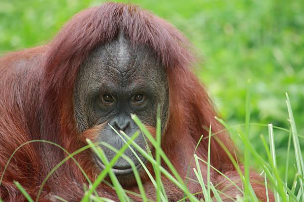 Orangutan Looking at the Camera stock photo